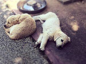 cuccioli golden retriever