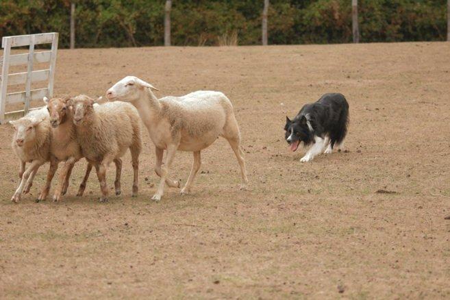 boss pecore