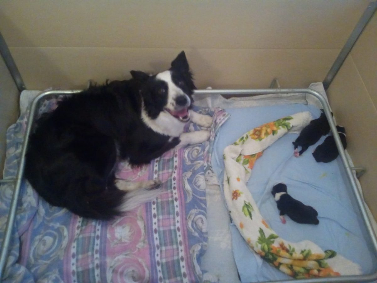 a litter puppies